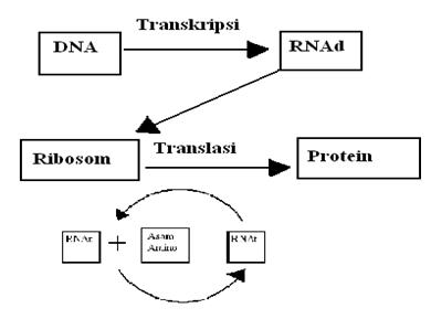 Try out to ujian nasionalun biologi gratis jawaban tahapan sintesis protein ccuart Image collections