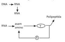 Soal pembahasan un sma biologi 2017 bag2 perhatikan diagram sintetis protein berikut bagan x dan proses y adalah ccuart Image collections
